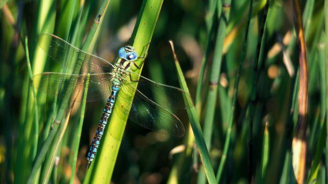 Egedals guldsmed: Grøn Mosaikguldsmed
