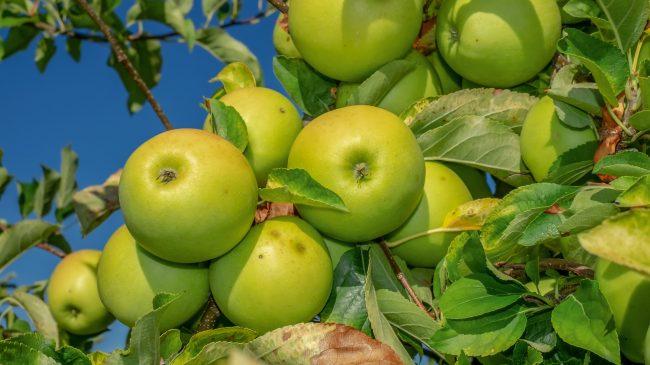 Pluk æbler langs stierne ved Ring Syd og Normannervej